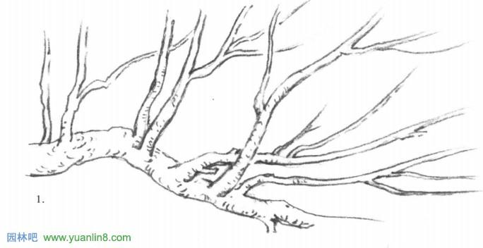 树冠形状分析图 每一种树,它都有自己的生长规律,有一个基本固定的树冠造型。如:紫荆、芒果树冠基本是呈圆形的,大叶紫薇、荔枝就呈半圆形,而尖叶杜英、龙柏等就是圆锥形的只要大家注意观察,方法对头必有很多心得。 掌握树冠的大致形状,对植物造景有莫大的助益,形状各异的树冠可以组合成层次感强,变化有致的立面效果。另外,在风景画构图和几何形起稿法中,都离不开对树形的整体把握运用。 以下树枝、树干树皮等手绘画表现技法(图例) 树枝形态表现: