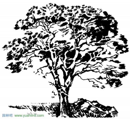 观赏树木整体造型手绘表现技法技巧 - 富硒帮 - 富硒帮物理农业博客