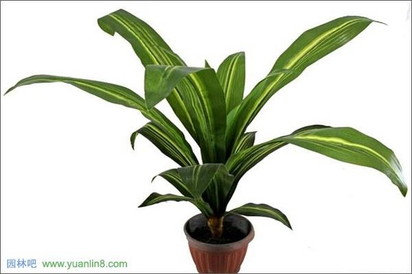 【巴西木叶子发黄原因及解决办法】  一、巴西木叶子发黄原因水土偏碱 在盆栽巴西木的时候最好使用腐叶土、培养土、粗沙土混合在一起培养是最好的,如果选用不适合的土壤,土壤中缺少可以被吸收的可溶性铁元素,就会造成巴西木叶子发黄。 巴西木叶子发黄解决方法:在栽培的时候要需要适合巴西木生长的土壤,在生长期间要进化成浇矾肥水在里面,这样有利于它的生长。  二、巴西木叶子发黄原因浇水量过多 在盆栽巴西木的时候需要的水分不多,只要生长周围的空气湿度比较高即可,一定不要让盆土里面积水,避免透风透气不好造成烂根的现象。浇水
