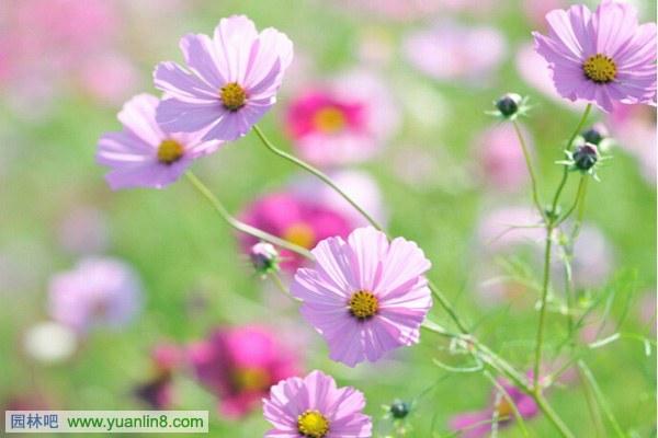 黑色波斯菊的花语_波斯菊的花语图片推荐_波斯菊的花语图库_依
