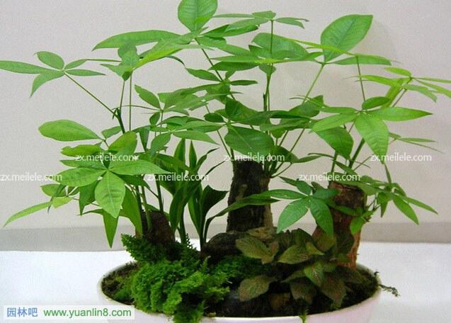 发财树怎么养护,如何给发财树剪枝