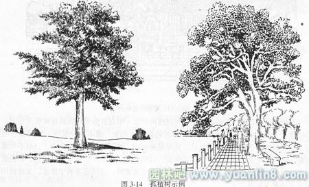 雪松植物平面手绘