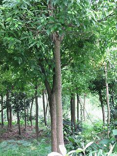 浙江省杭州市_樟树,别名:香樟,木樟,乌樟等-植物花卉_园林吧