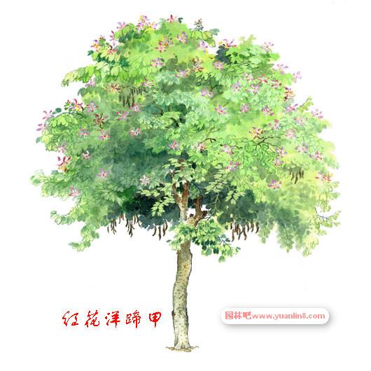 经典手绘树木立面图名贵树木手绘图片欣赏