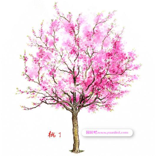 立面图,名贵树木手绘图片欣赏