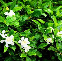 菊苣栀子茶的功效与作用