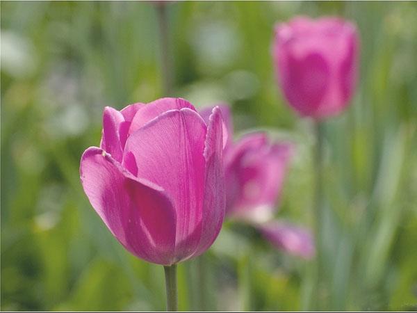 郁金香高清图片—植物花卉图库