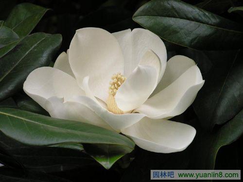 广玉兰 别名大花玉兰 荷花玉兰 洋玉兰 植物花卉 园林吧