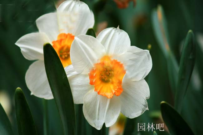 牡丹花美图组合,牡丹花卉素材