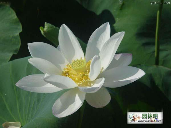 全球资讯_精美莲花图片欣赏-植物花卉_园林吧