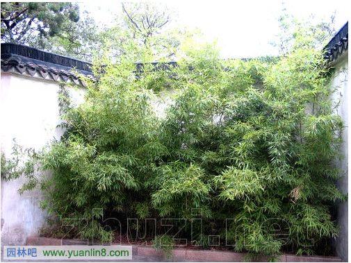 北京园林景观设计院_罗汉竹墙角绿化景观及其虎丘公园应用图-植物配植_园林吧
