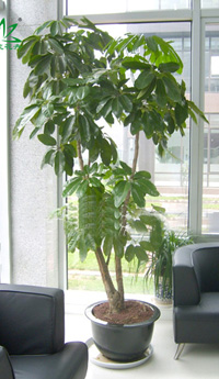 招财树养护,繁殖,管理,病虫害及属性特征 植物花 高清图片