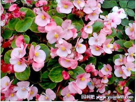 四季海棠种子图片_四季海棠的育苗技术以及养护养殖方法-植物花卉_园林吧