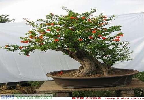 果树盆景欣赏