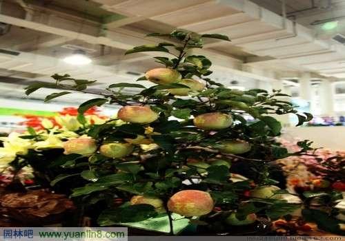 果树盆景栽培养殖管理方法(组图)
