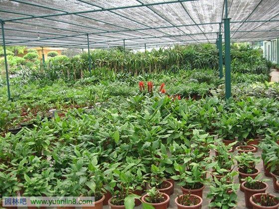 目前受市民宠爱的红掌、凤梨、一品红和蝴蝶兰等优质盆花产品,生产区主要集中在花都,先锋园艺、陆仕公司、广州花卉研究中心等大型企业、科研单位都在那里建立了生产基地。这些优质盆花也营造了广州盆花的品牌,每年大概有800多万盆优质盆花供应国内市场。   下面是-苗圃园艺、花卉大棚、花卉专区花卉植物图欣赏  花卉区-盆栽花卉区图片  花卉区-盆栽花卉区图片  某花卉大棚图片