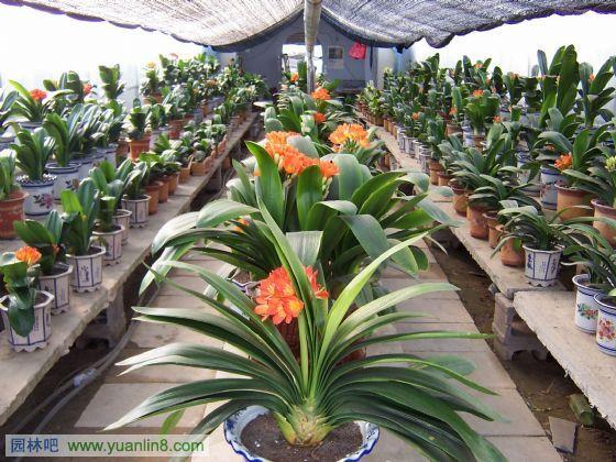 中国苗圃_花卉植物图-苗圃园艺,花卉大棚,花卉专区-植物配植_园林吧