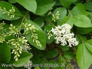 小叶白蜡_小叶女贞-小叶冬青、小白蜡、小叶水蜡树-植物花卉_园林吧