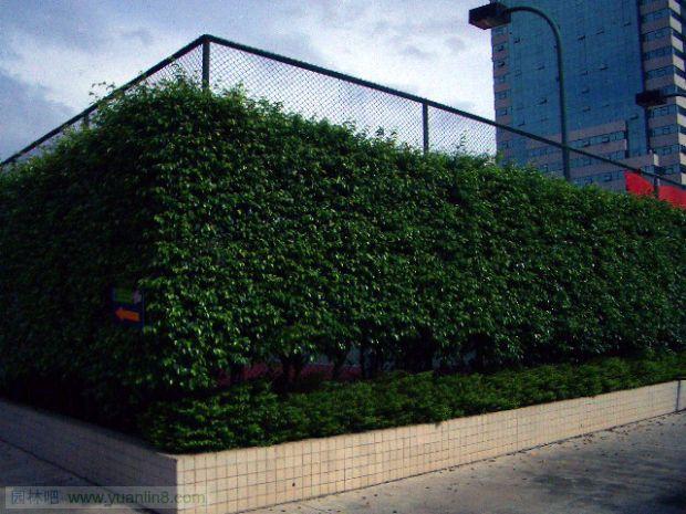别墅围墙效果图_金镶玉竹用于围墙绿篱景观图-植物配植_园林吧