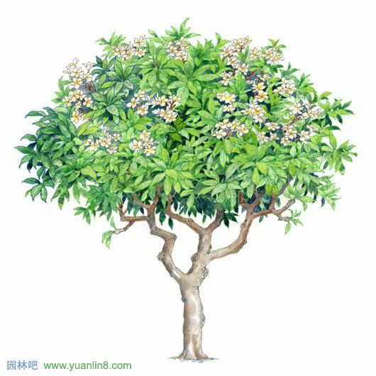 树木手绘表现效果图树木手绘效果图 景观树木手绘  景观手绘平面图