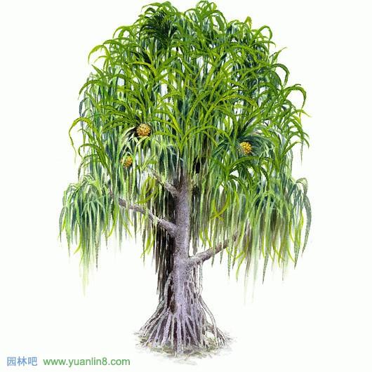 园林吧 > 经典手绘树木立面图,名贵树木手绘图片欣赏