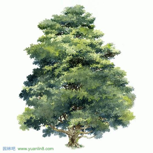 经典手绘树木立面图,名贵树木手绘图片欣赏