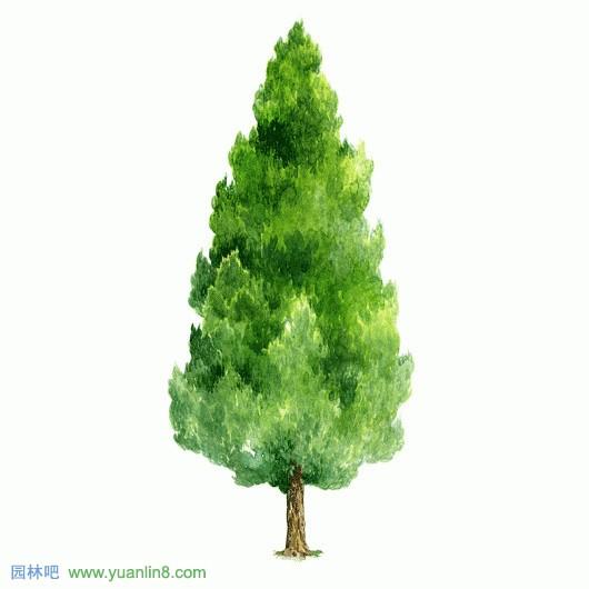经典手绘树木立面图,名贵树木手绘图片欣赏-手绘作品_园林吧
